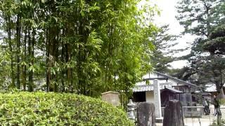 この竹は横走地下茎が発達せず、横にはびこらず、親竹の周りにのみ竹の...