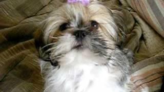 Cute Shih Tzu Puppy Making Kissy Faces While I Make Kiss Noises.