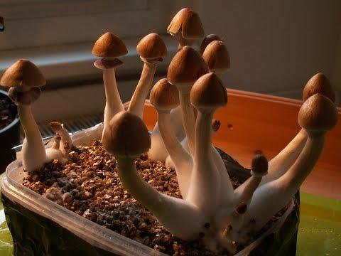 Mystic Medicine -  The Therapeutic Potential of Magic Mushrooms