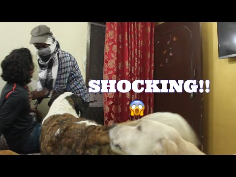 PITBULL St.Bernard SHOCKING REACTION TO THIEF | Wildly Indian