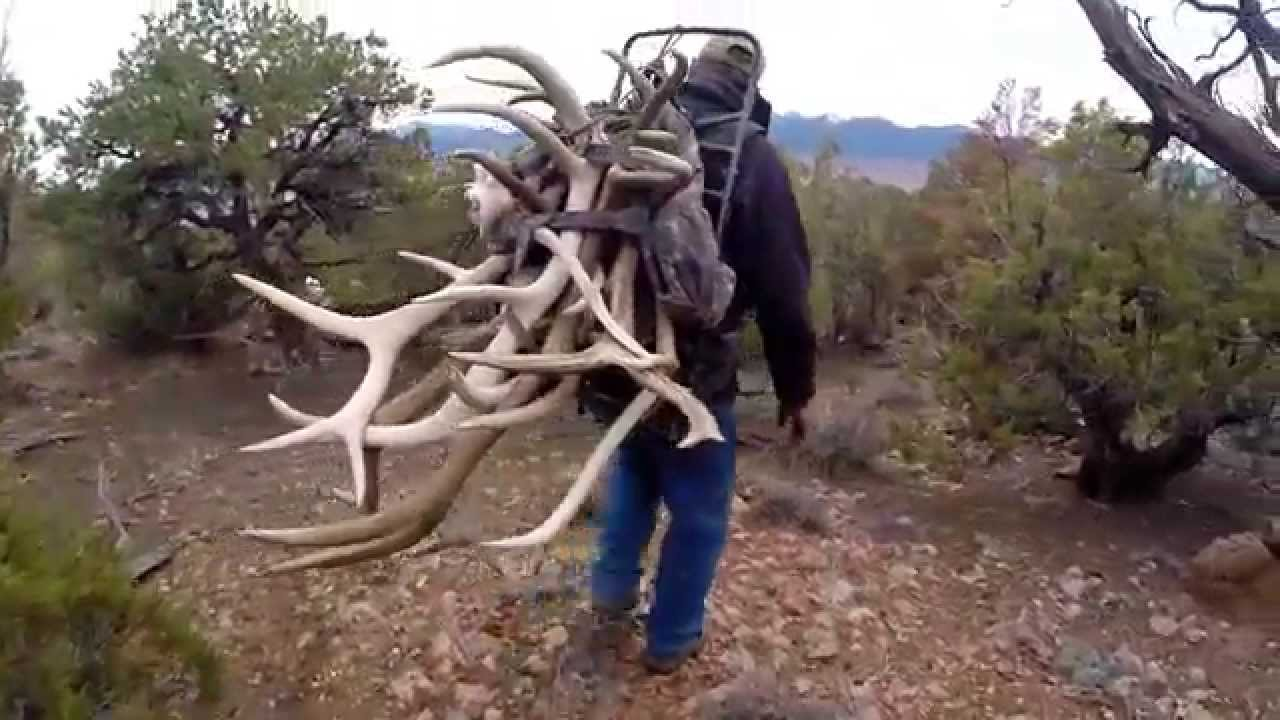 Shed Hunting Monster Bulls
