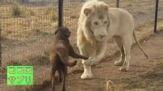 「ど、どこで覚えた!?」 ライオンが犬に、イケメン過ぎる振る舞い thumbnail