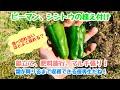 動画で家庭菜園『ピーマン、シシトウの植え付け…畝立て、肥料施行、マルチ張り! 霜…