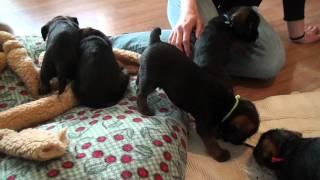 Kilcreggan Border Terrier Puppies Playing - 6 Weeks 3 Days