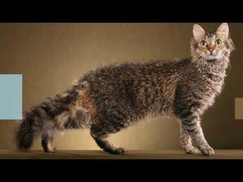 Classification of Cat Breeds #KO: Kashmir Cat, Korat CAT, LaPerm cat, Maine Coon cat | DISCOVER