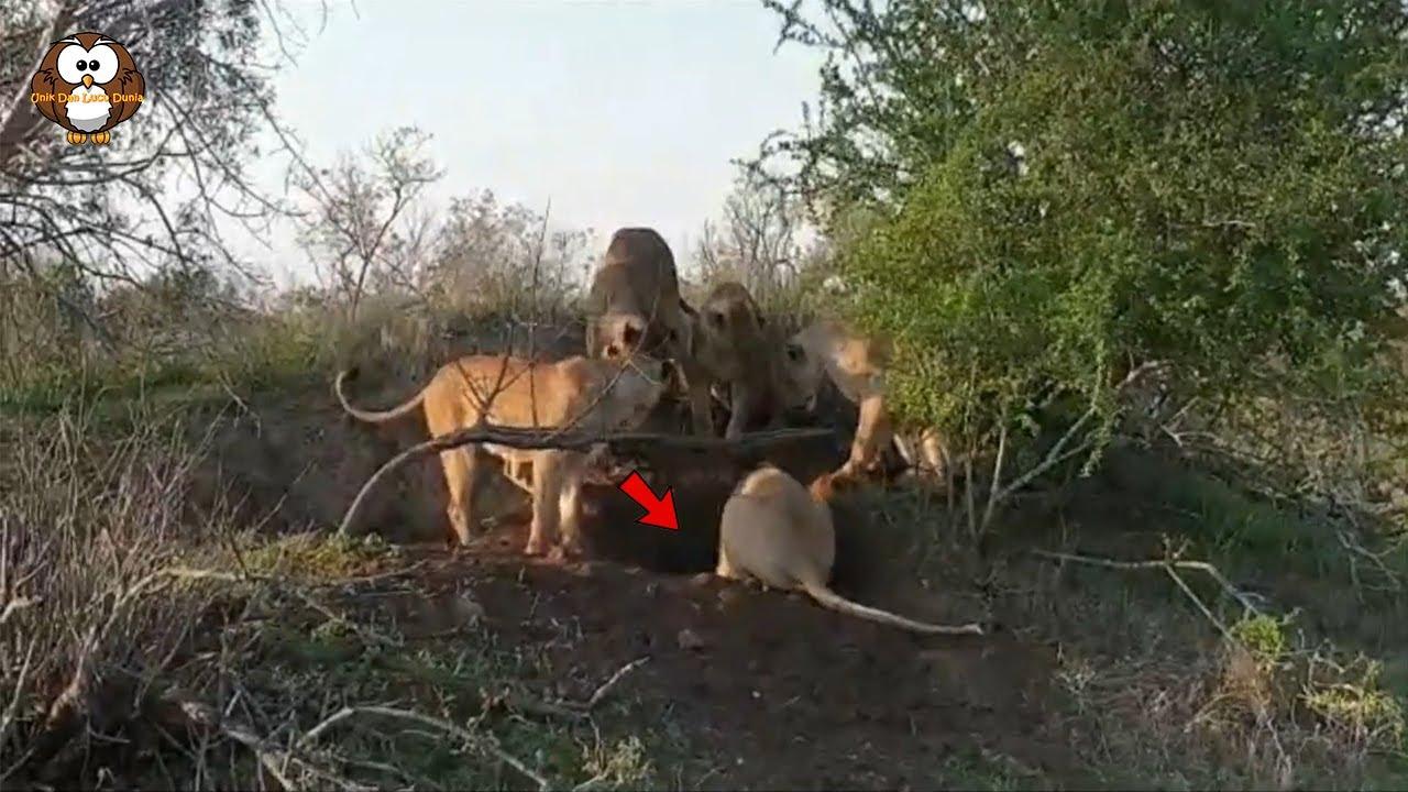 Saat Sedang Menggali Tanah, Tiba-Tiba Singa Ini Dikagetkan Dengan Apa Yang Didapatkan!!!