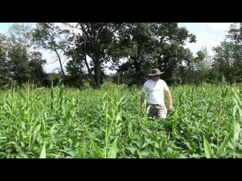 Round Up Ready Soybean Food Plot Planted with Earthway Planter