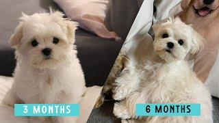 Three months vs. Six months puppy  Cute Maltese Dog Video Compilation