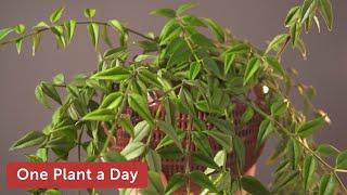Hoya bella Houseplant Care 73 of 365