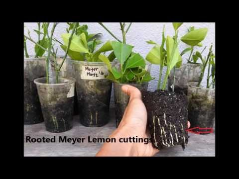 How to root Kaffir Lime by Cuttings