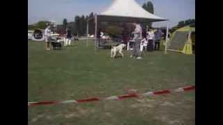Working Labrador Retriever Cacib Osijek 2013