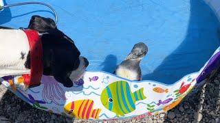プールに水が溜まるのを待ちきれなくて先に入って待ってるペンギンのタンク君