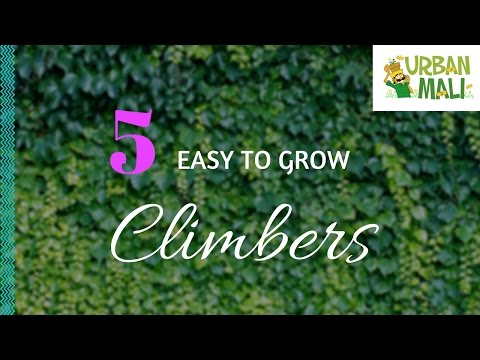 5 Easy To Grow Climbers! - UrbanMali.com
