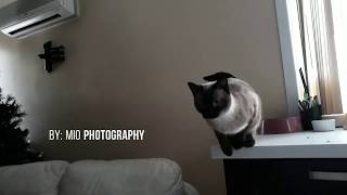 My Siamese Cat Mia Jumps in the Air .. SlowMotion.
