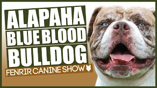 ALAPAHA BLUE BLOOD BULLDOG BREED 101! Everything You Need To Know