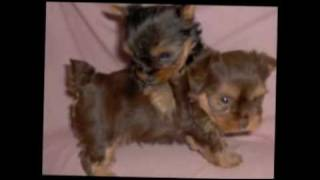 Yorkshire Puppies For Sale In Florida...