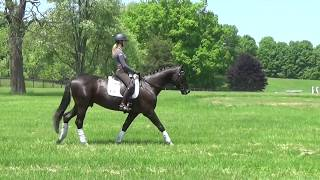 2011 Furst Nymphenburg x Carismo Imported Gelding For Sale