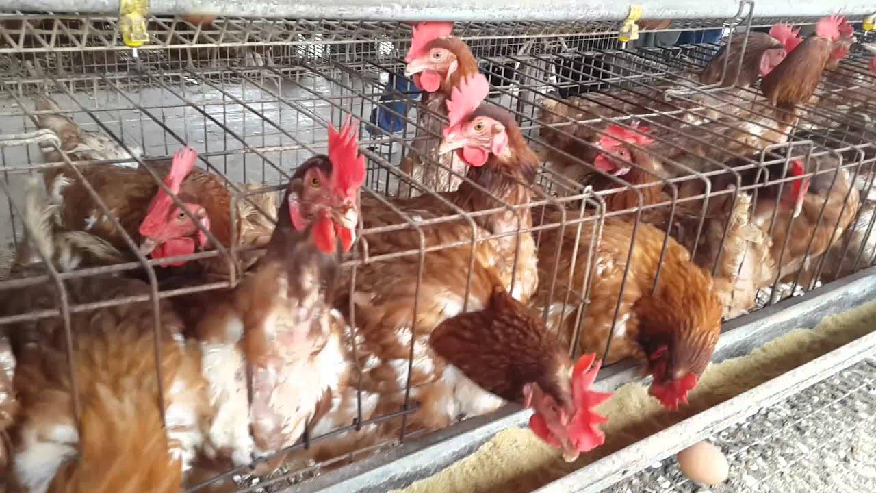 Crianza de gallinas ponedoras gallinas de postura youtube for Jaulas para cria de peces