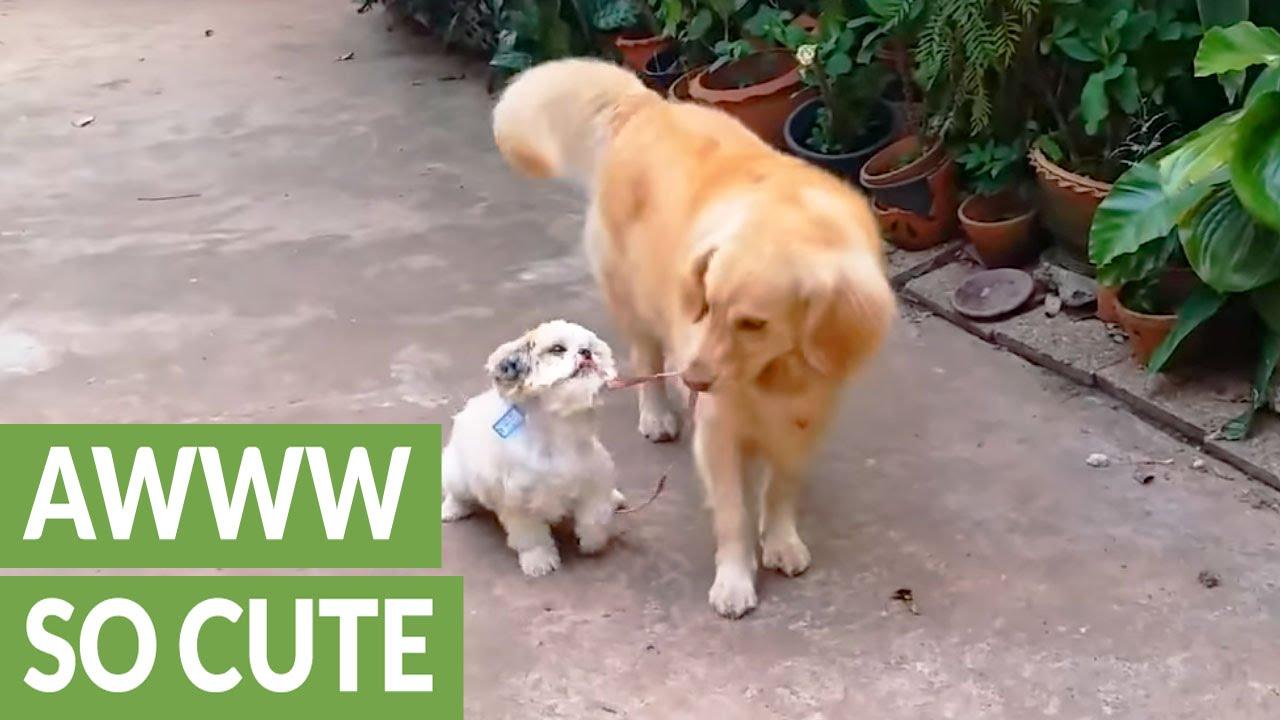 Golden Retriever Takes Shih Tzu For A Walk Youtube