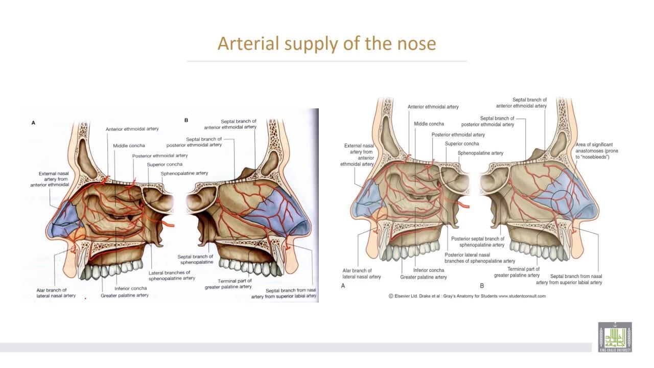 Anatomy 2 | U1 - L6 | Nasal cavity - YouTube