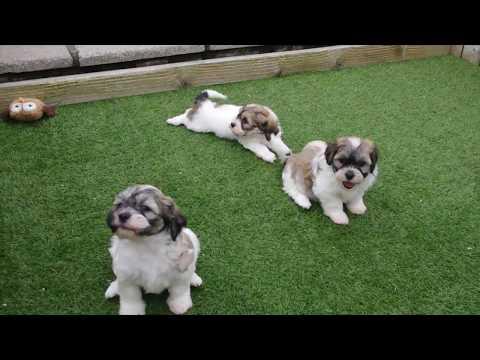 Lhasa Apso x Bichon Frise Pups
