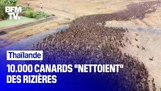 Thaïlande:10.000 canards