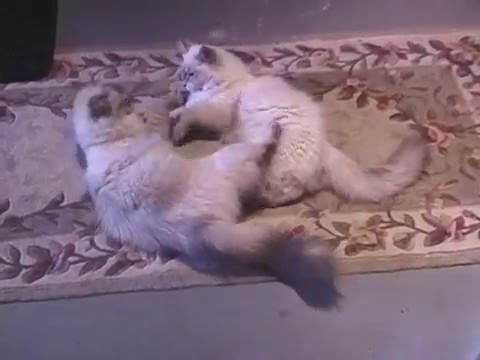 Lover's quarrel!Two Siberian Colorpoint cats playing