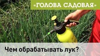 Голова садовая - Чем обрабатывать лук?