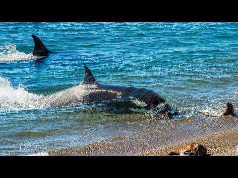 Orca Sneak Attacks