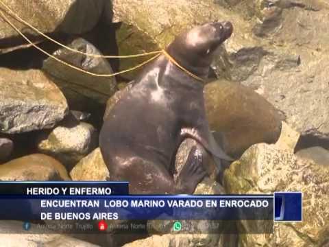 ENCUENTRAN LOBO MARINO VARADO EN ENROCADO DE BUENOS AIRES - Antena Norte Noticias