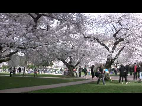 The Cherry Blossoms of the UW Quad