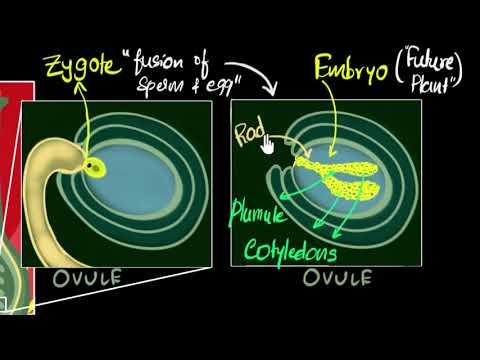 Fertilisation, Zygote, Embryo, Germination | How Do Organisms Reproduce | Biology | Khan Academy