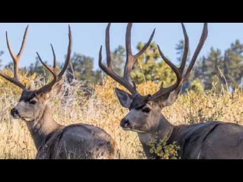 Top-Rated 39 Mule Deer Of The Ruby Mountains On The Earth! Top 39 Ruby Mountain Deer In The World#39