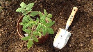 300. Умелая посадка помидоров - залог хорошего урожая.
