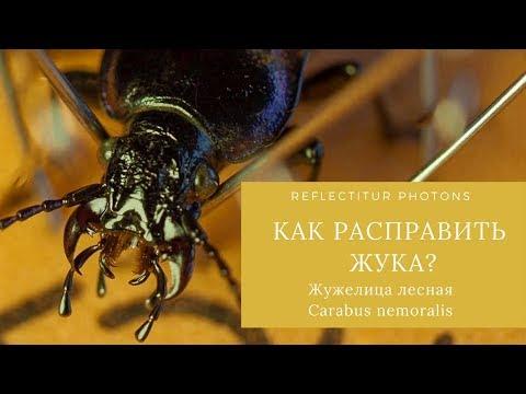 Расправляем жуков Жужелица лесная (Carabus Nemoralis) [Как расправить жука?]