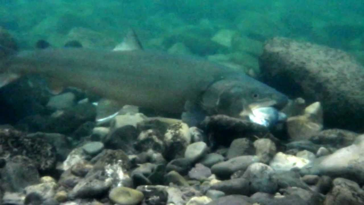 Bull trout eating fish at livingstone river alberta sep for Fish not eating