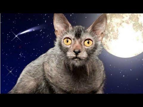 Ликои, Кошки оборотни, Породы кошек, описание - YouTube