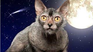 Ликои, Кошки оборотни, Породы кошек, описание