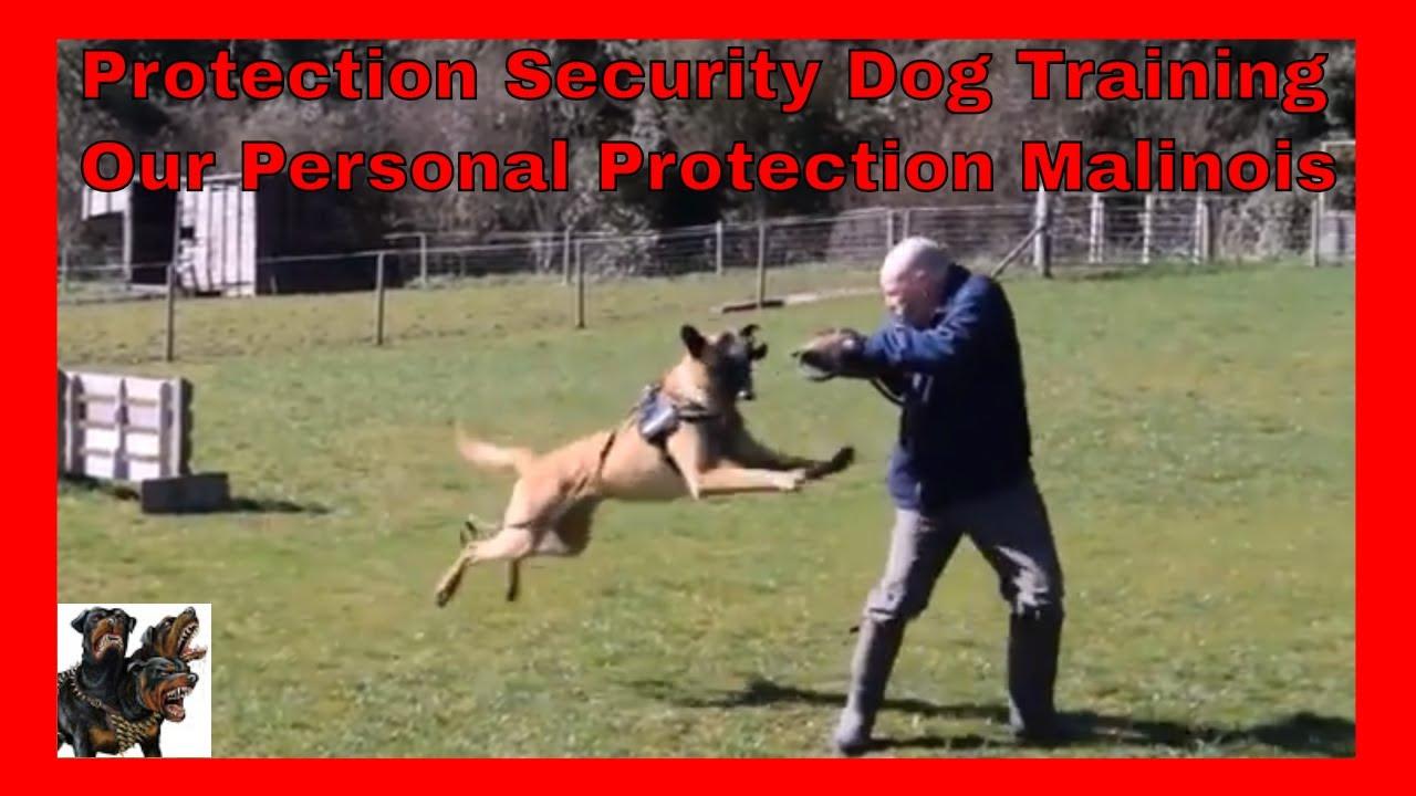 Malinois Belgian Protection Security Dog Training Our Malinois Compilation Youtube