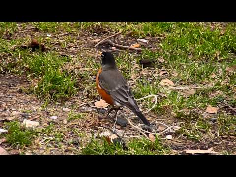 American Robin calls for Spring
