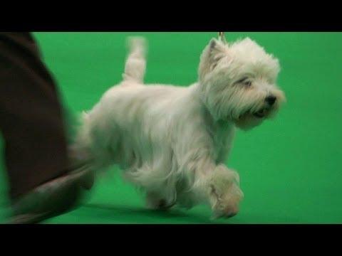 City of Birmingham Championship Dog Show 2013 - Terrier group