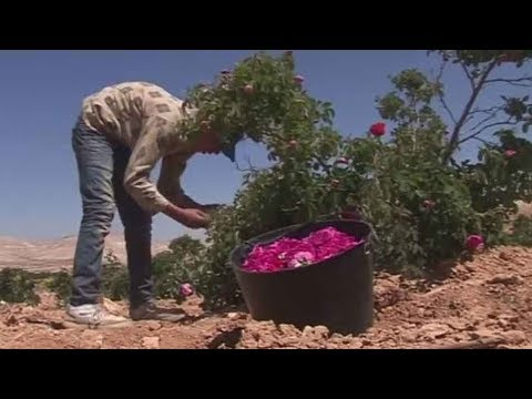 Despite Syrian war, Damascene roses bloom again