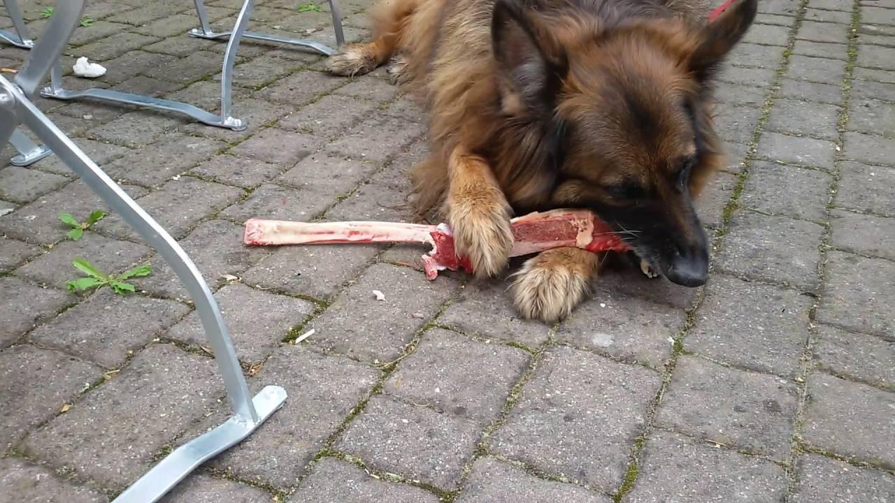 hund frisst knochen  youtube