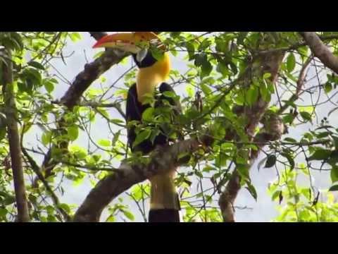 Great Hornbill in Malaysia Rainforest II