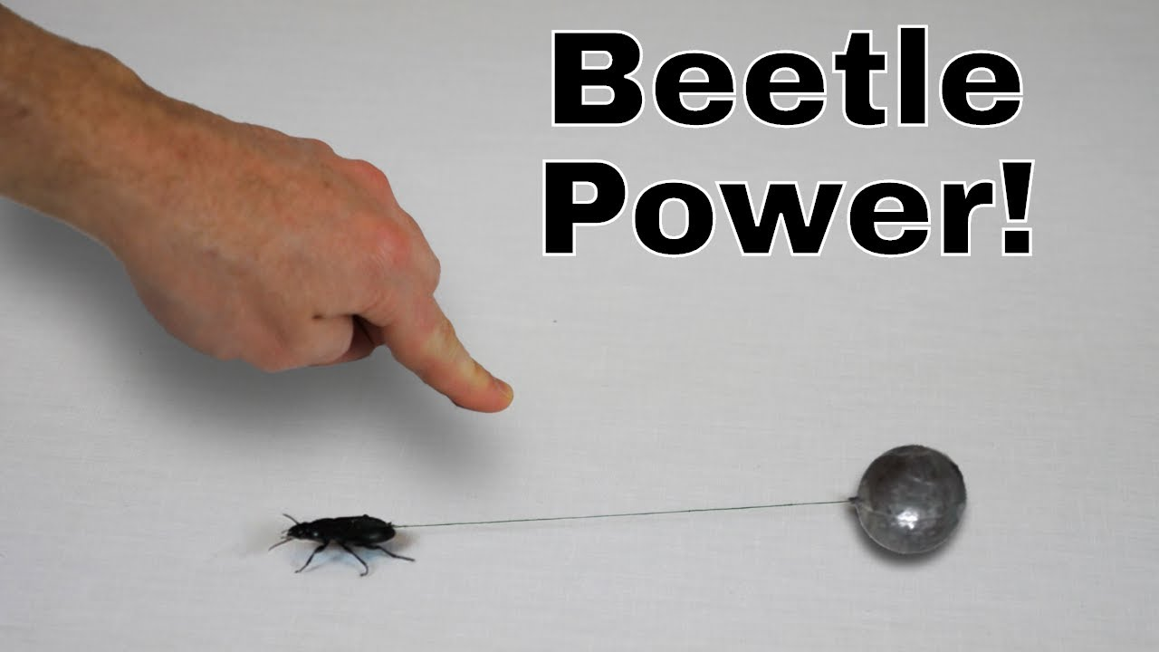 How Much Weight Can The Worlds Strongest Insect Pull I Roped A Flytrap Robots Hunt And Catch Bugs For Meals Beetle