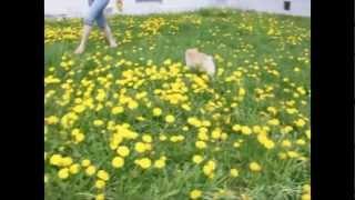 Шпиц карликовый померанский. весна,танцы