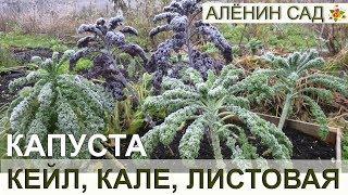 Капуста КЕЙЛ // Листовая капуста, русская капуста, капуста кале / Всё о выращивании капусты кейл