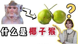 美国为何盯上泰国椰子猴?PETA伪慈善还是真虚伪?所有打着人道主义的幌子都是耍流氓!