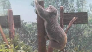 鹿児島の平川動物公園のコアラ.