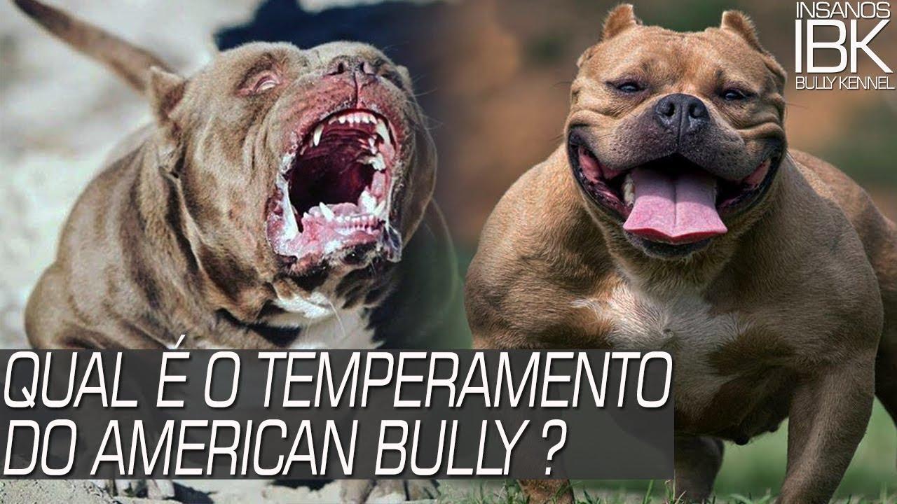 American Bully é Dócil Ou Agressivo
